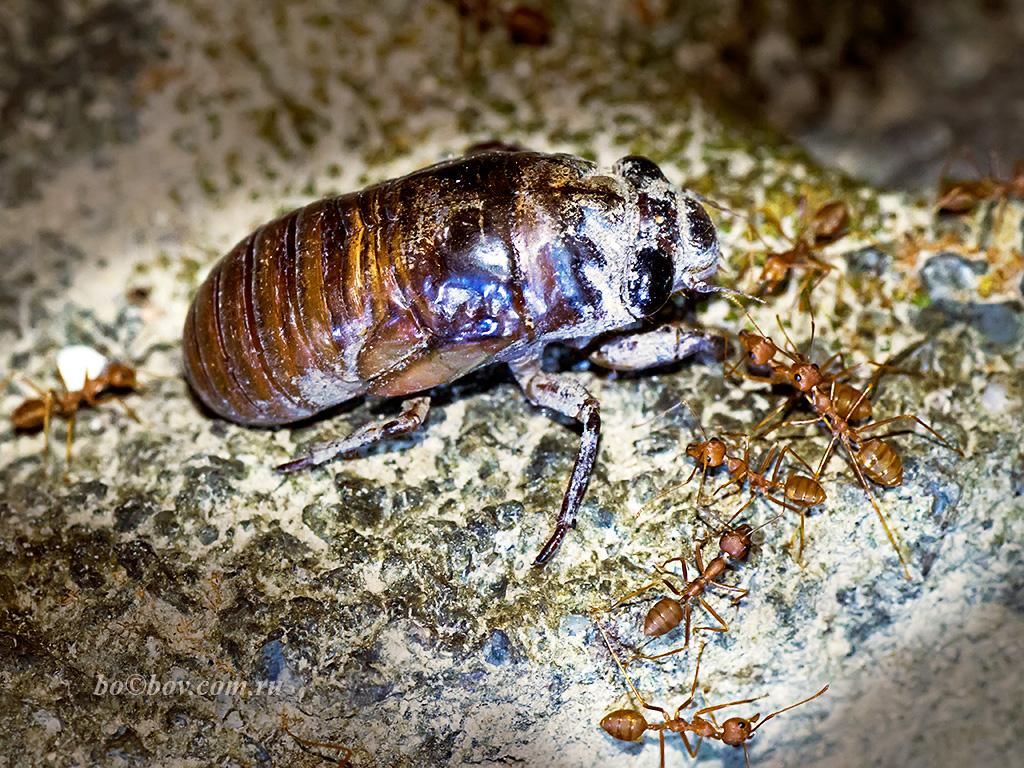 Личинка певчий цикады (Huechys incarnata).