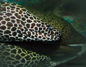 """Леопардовая мурена в Океанариуме в Паттае """"Underwater World Pattaya"""" ."""