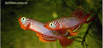 "Рыба -огонь. Знакомство с Nothobranchius  Flammicomantis ""Kisaki TAN1995\5″"
