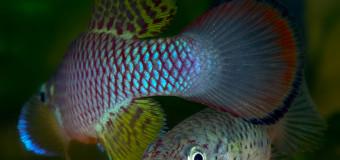 Крепыши. Nothobranchius lucius Ruhoi River TZN 09/10