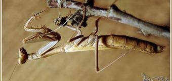 Знакомство с БОГОМОЛОМ обыкновенным (Mantis religiosa).